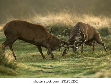 Red deer fight during the rut, UK