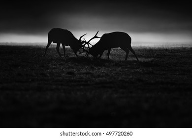 Red deer fighting during rut, black and white