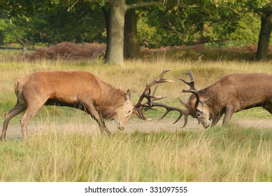 Red Deer - Fighting of two stags.