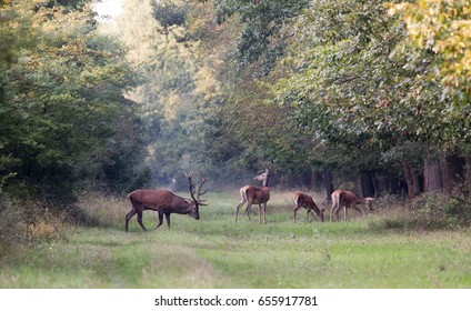 Red deer following small group of hinds in forest during mating season in autumn