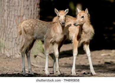 red deer in forest - Elaphurus davidianus