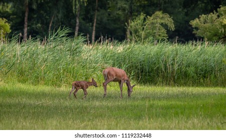 Red Deer forest Netherlands