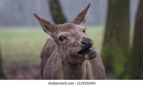 Red Deer forest Netherlands
