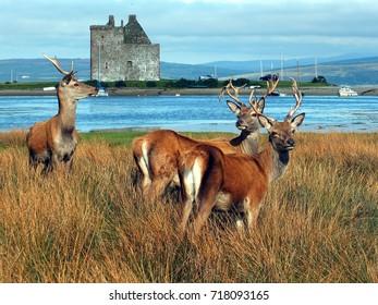 red deer in front of Lochranza Castle,Isle of Arran,Scotland.