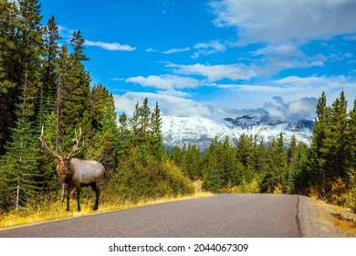 Red deer grazes by the road. The Rocky Mountains of Canada. Jasper Park. Magnificent highway among coniferous forests. Travel and photo tourism concept