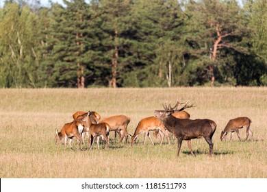 Red deer group with belling deer stag in autumn. Autumn landscape with herd of deer. Cervus Elaphus. Natural habitat.