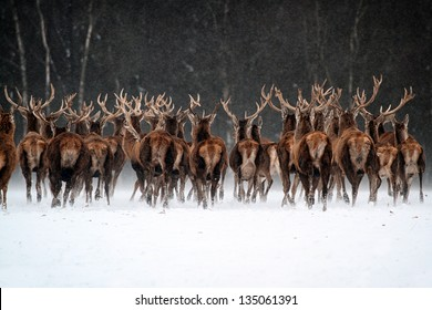 Red Deer Herd (Cervus elaphus) in the Scottish Winter Snow