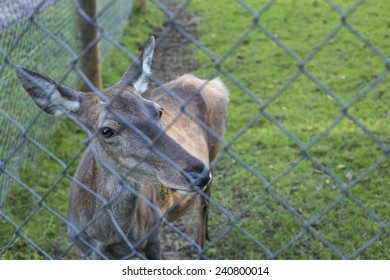 Red deer hind, behind a chain linked fence.