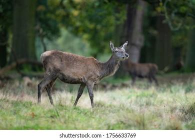 Rotwild-Hind. Weibliche Rote Hirsche, die im Wald spazieren.