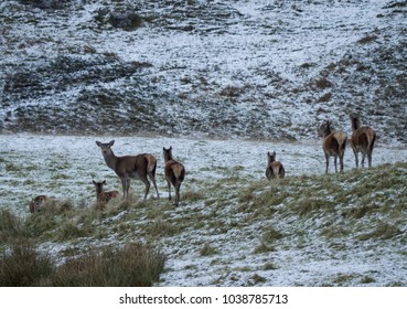 Red deer hinds amidst the snows in the Scottish Highlands near Ledmore, Sutherland, Scotland, UK