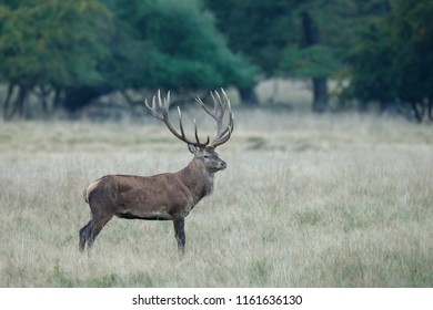 Red deer with a huge rack during mating season
