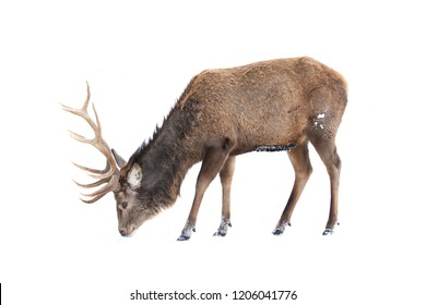 Red deer isolated on white background feeding in the winter snow in Canada
