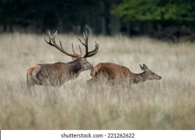 Red deer male chases a female during mating season