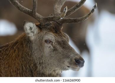 Red deer male head portrait, winter,  germany, (cervus elaphus)
