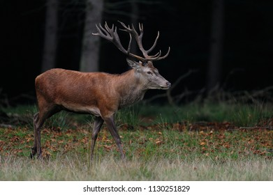 Red deer male at the mating time in a autumn forest,