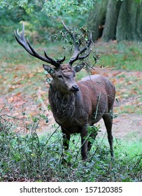 red deer male stag antlers with brambles and leaves caught on antlers
