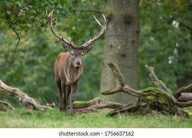 Roter Hirsch - Männlicher Stag im Herbst im Wald