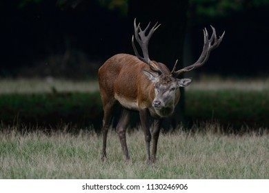 Red deer male standing on the forest meadow, mating time, autumn, germany,