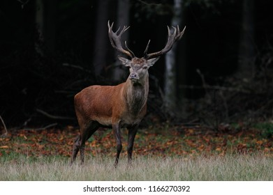 Red deer male standing on the forest meadow, mating time, autumn, germany, (cervus elaphus)