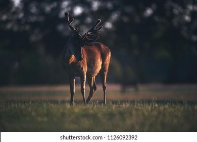 Red deer male with velvet antler in meadow in golden hour.