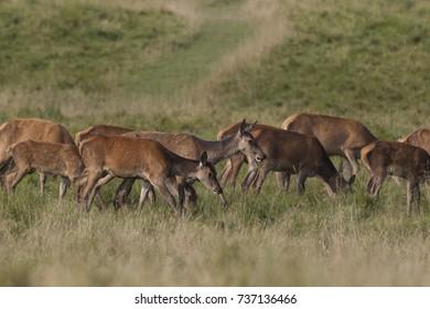 Red deer - mating season