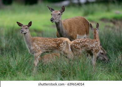 Red deer with more calf, summer, (cervus elaphus), germany