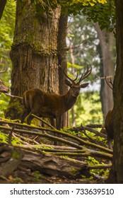 Red deer in its natural habitat