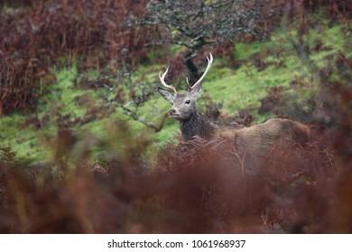 Red deer on Exmoor hiding behind the foreground.