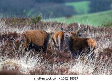 Red deer on Exmoor with very light sprinkling of snow visible on coats.