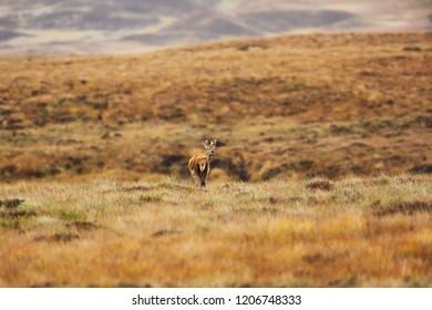 Red deer on heath