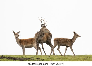 Red deer on horizon isolated against a plain sky