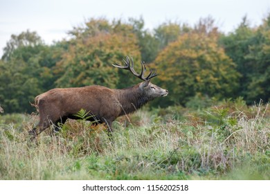 The red deer is one of the largest deer species. The red deer inhabits most of Europe, the Caucasus Mountains region, Asia Minor, Iran, parts of western Asia, and central Asia.