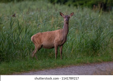Red Deer outdoors Netherlands