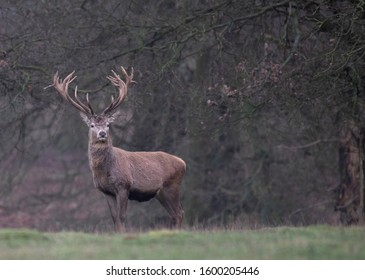 red deer in the park in winter