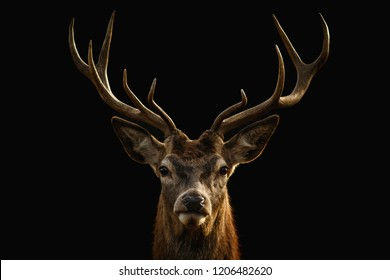 Red deer portrait on black background. - Shutterstock ID 1206482620
