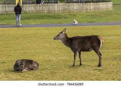 Red deer at rest