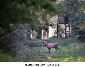 Red deer roaring in forest in mating season with watchtower in background. Wildlife in natural habitat