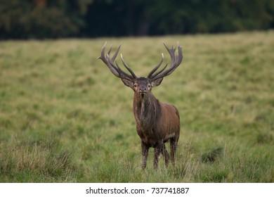 Red deer - Rutting season
