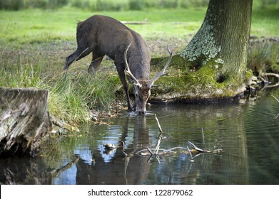 A red deer shouting drinking in a small river