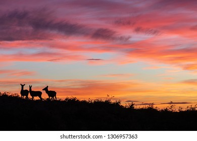 Red deer in silhouette (left frame(against a fiery sunset with the sky filled with orange yellow and red.