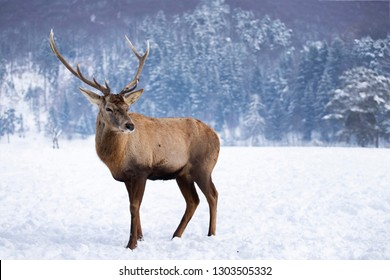 Red deer in the snowy forest