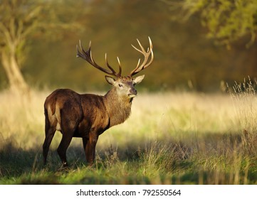 Red deer stag in autumn, England, UK