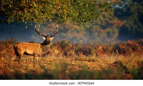 Red deer stag in an autumn setting