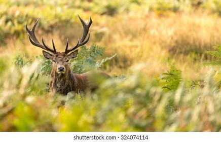Red deer stag in the bracken