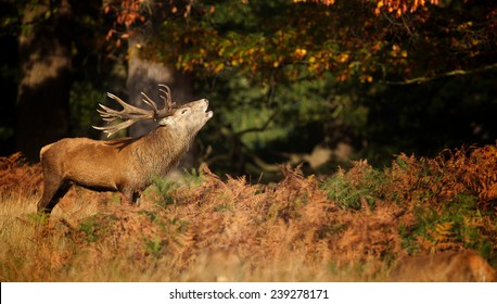 A red deer stag calling