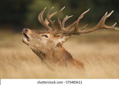 Red Deer Stag, 'Cervus elaphus' in Richmond Park, London, United Kingdom