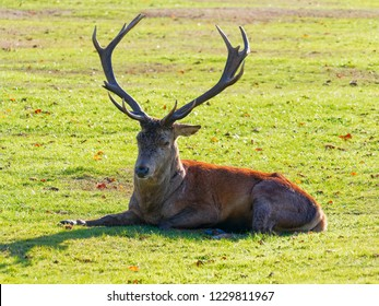 Red Deer stag dozing in the autumn sunshire