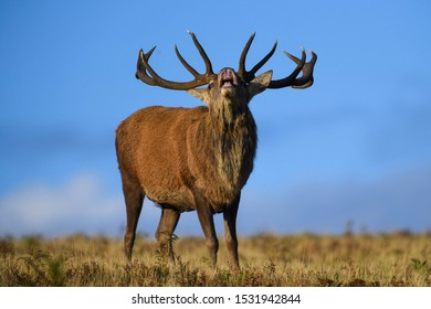 Red Deer stag during the rut in Bradgate Park, Leicestershire.