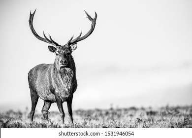 A Red Deer stag during the rut in Bradgate Park, Leicestershire.