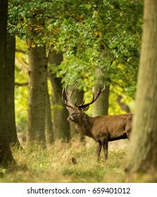 Red Deer Stag during the Rut. In autumn started the deer rut. Deer photography during the rut.